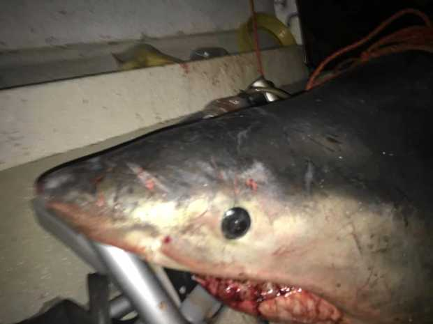 'There's a Shark in My Boat!' Fisherman Gets Big Surprise