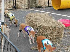 NOVELTY RACES: The racing pigs were a feature of  last Sunday's Alstonville Family Festival.