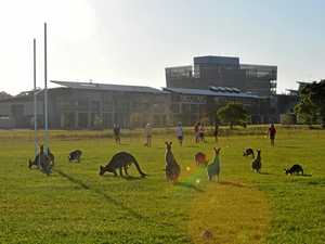 Kangaroos were abundant at the University of the Sunshine Coast in 2008.
