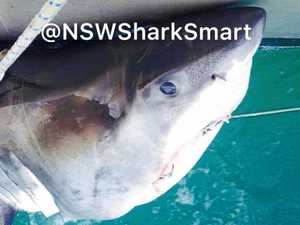 Great white caught after net removal announcement