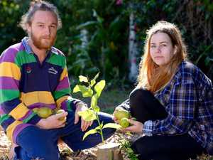 Buderim fruit trees destroyed.