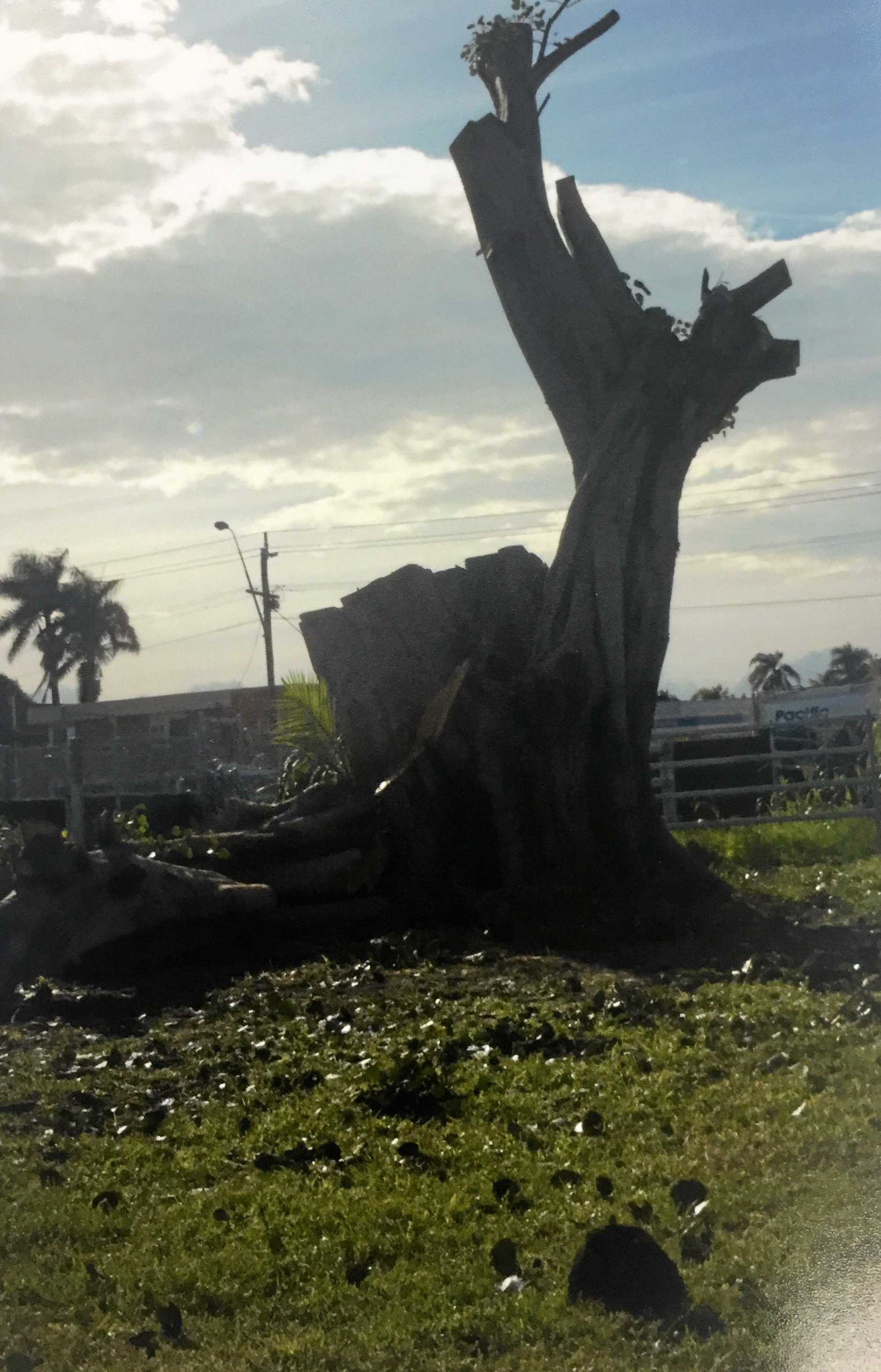 TREE GONE: An old fig tree was removed from the Mackay Showgrounds this week due to safety concerns.