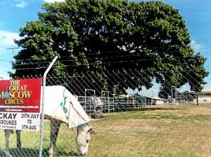 Old fig tree gets the chop at Mackay Showgrounds