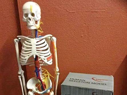 MR BONES: A model skeleton can be yours for $50.