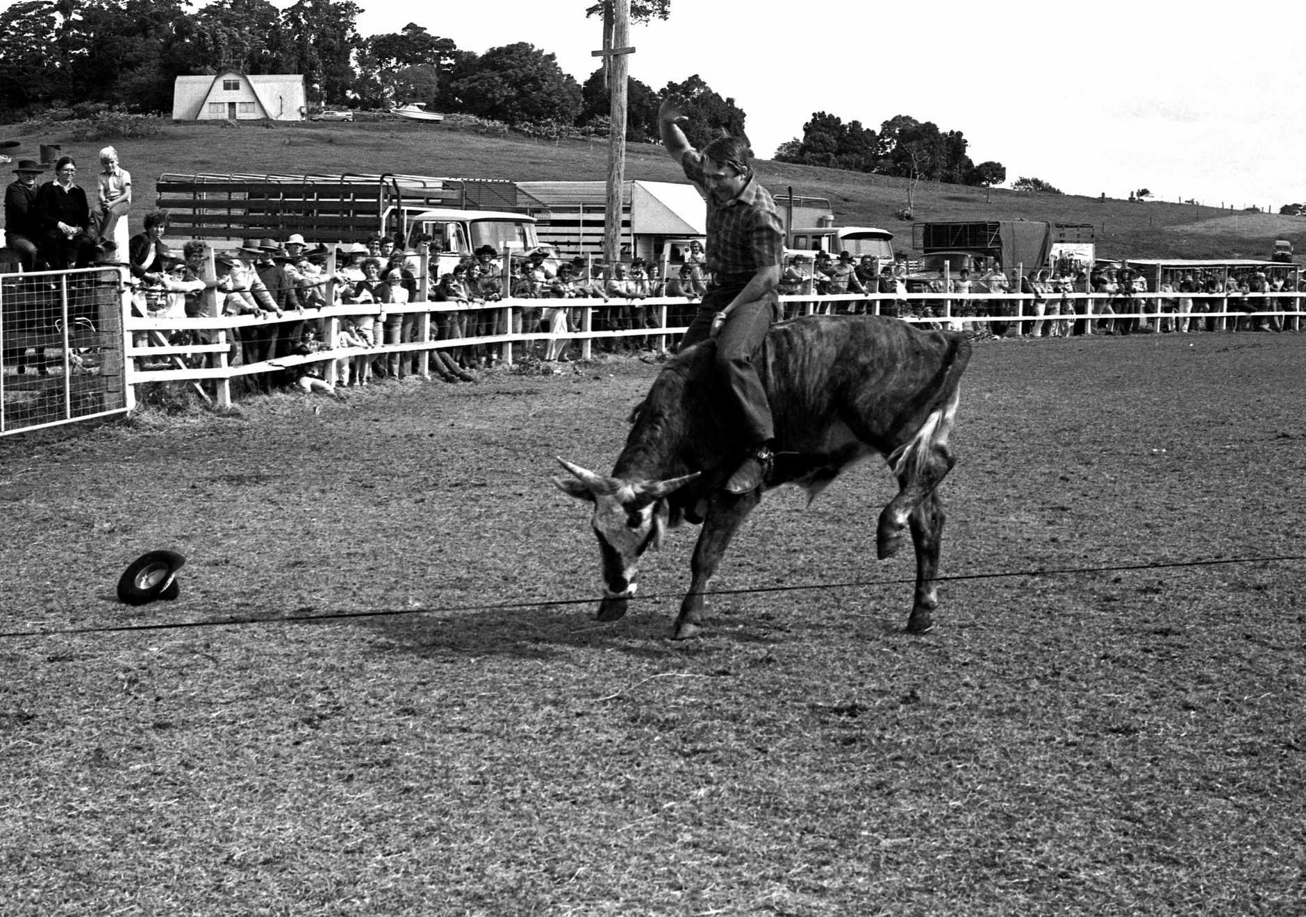 Bull riding event in the rodeo arena during the Maleny Show & Rodeo, 1981.
