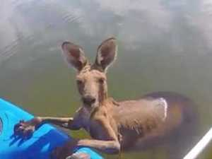 Kangaroo rescued from near-drowning in canal