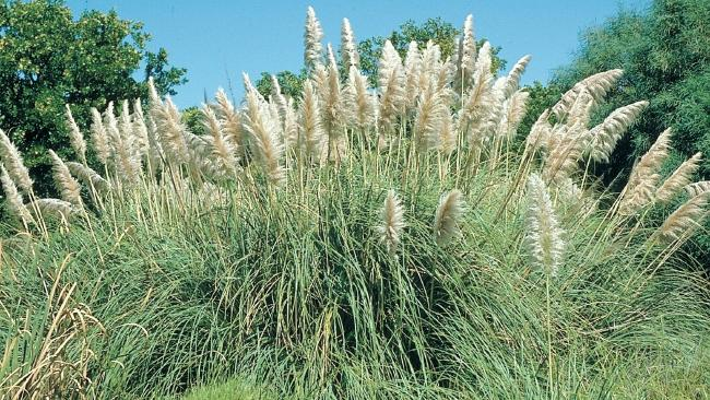 Pampas Grass is classified as a weed in Australia but in Britain is once a prized front garden must-have.