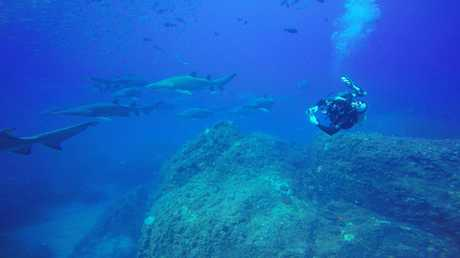 INCREDIBLE: Divers at Wolf Rock off Rainbow Beach recently spotted up to 70 pregnant female sharks at a time of the critically endangered grey nurse shark.