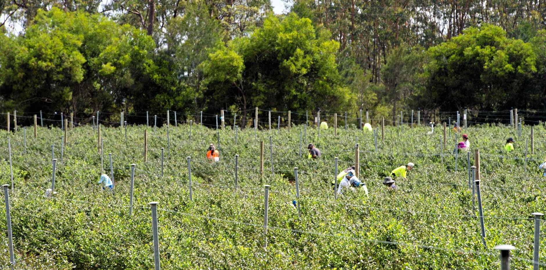 Bellingen Shire Council has voted to impose restrictions on blueberry growing in the area.