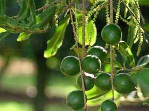 Australian macadamia industry taking on the world
