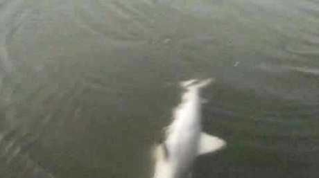 Bundaberg fisherman Dale Rockall shares photos of sharks which he says were close to the shore in the region.
