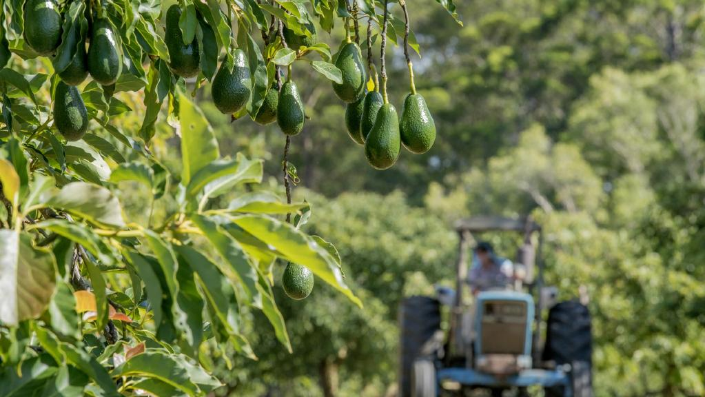 This avocado farm at 822 Tagigan Rd, Wolvi, has sold for $785,000.
