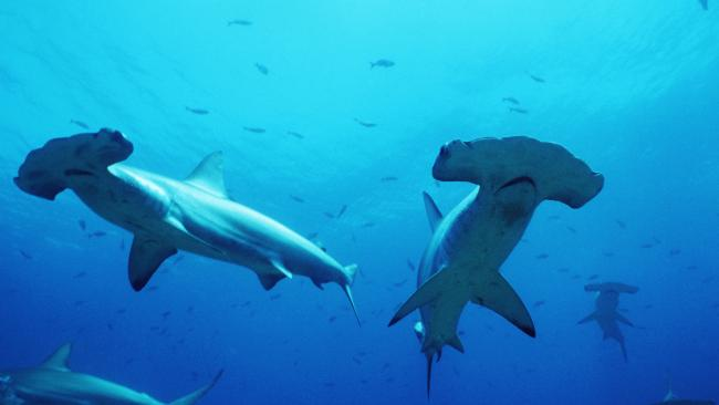 Are hammerhead sharks too smart for nets? That is the question scientists hope to solve.