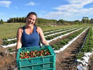 Why Bundaberg gets the pick of the strawberry crop