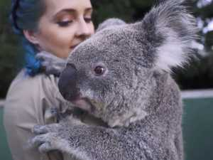 Koala makes chores impossible at Symbio Wildlife Park