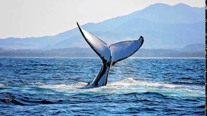 Whales are starting to be sighted regularly along the Coffs Coast.