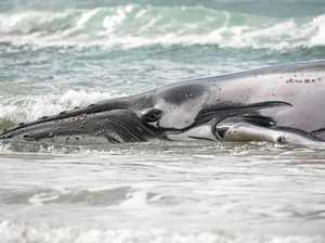 Humpback stranding a waiting game for rescuers