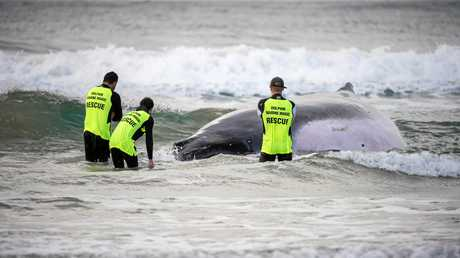 Humpback whale stranded on Sawtell Beach.