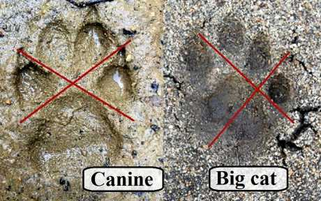 MAKING TRACKS: A cross through the print between the heel pad and outside toes can determine a dog print from a big cat print.