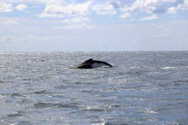 Whales jumped around near the northern end of Hook Island.