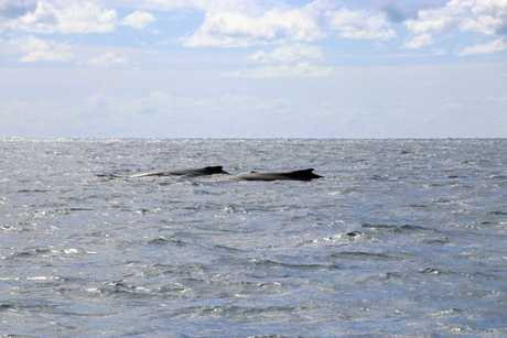 Whales have emerged in the Whitsundays earlier than expected.
