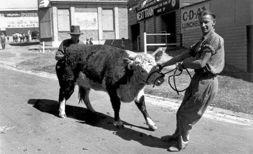 A stubborn steer at the Ekka.
