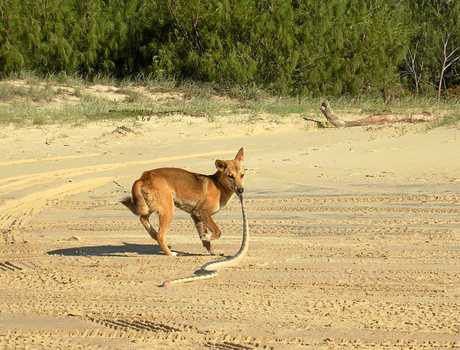 Hungry Dingo on Fraser Island