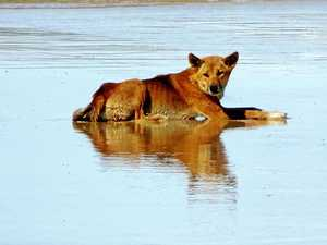 Dingoes euthanised on Fraser Island