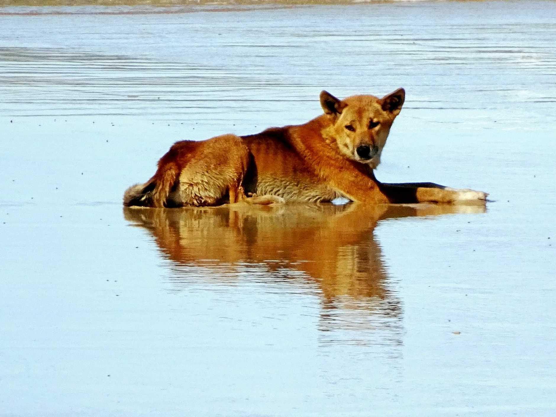 A wild Fraser Island dingo on the beach.
