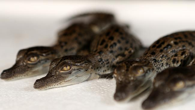 Newly hatched baby crocodiles (one day old) from Hartleys Crocodile Adventures. Picture: Josh Woning.