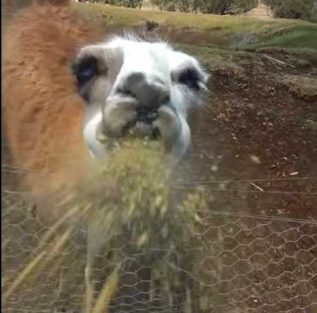 Drew Baker is showered with spit at the Darling Downs Zoo while visiting the popular llama exhibit.