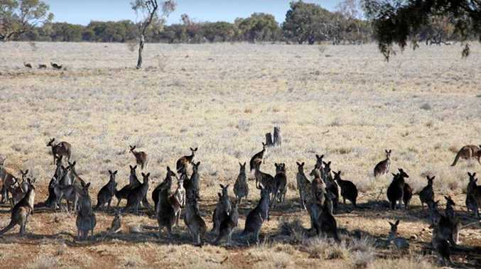 Concerns have been raised kangaroos numbers are at an unsustainable level.