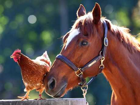 Best friends: Buddy the horse and Chilli the chicken.