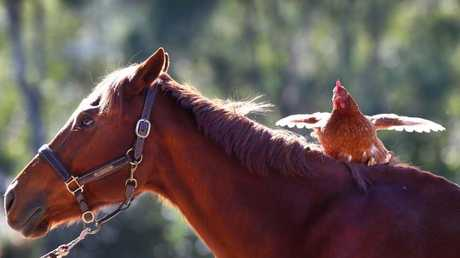 Chilli goes for a ride on best mate Buddy.
