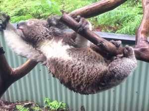 Koala tries to escape rains at Australian Reptile Park