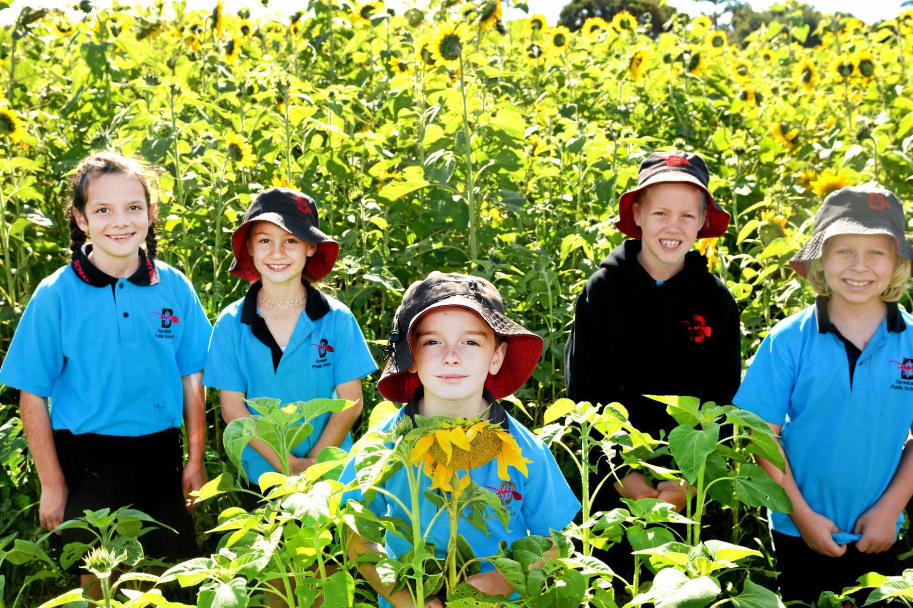 Duranbah Public School students Lilly Scaife, Liv Ivey, Jimmy Barron, Arella Thornley and Sonny Kershaw checkout the Sunflower crops at Farm & Co, Cudgen