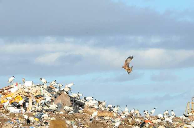 Kites at the Bonnick Road Dump site.