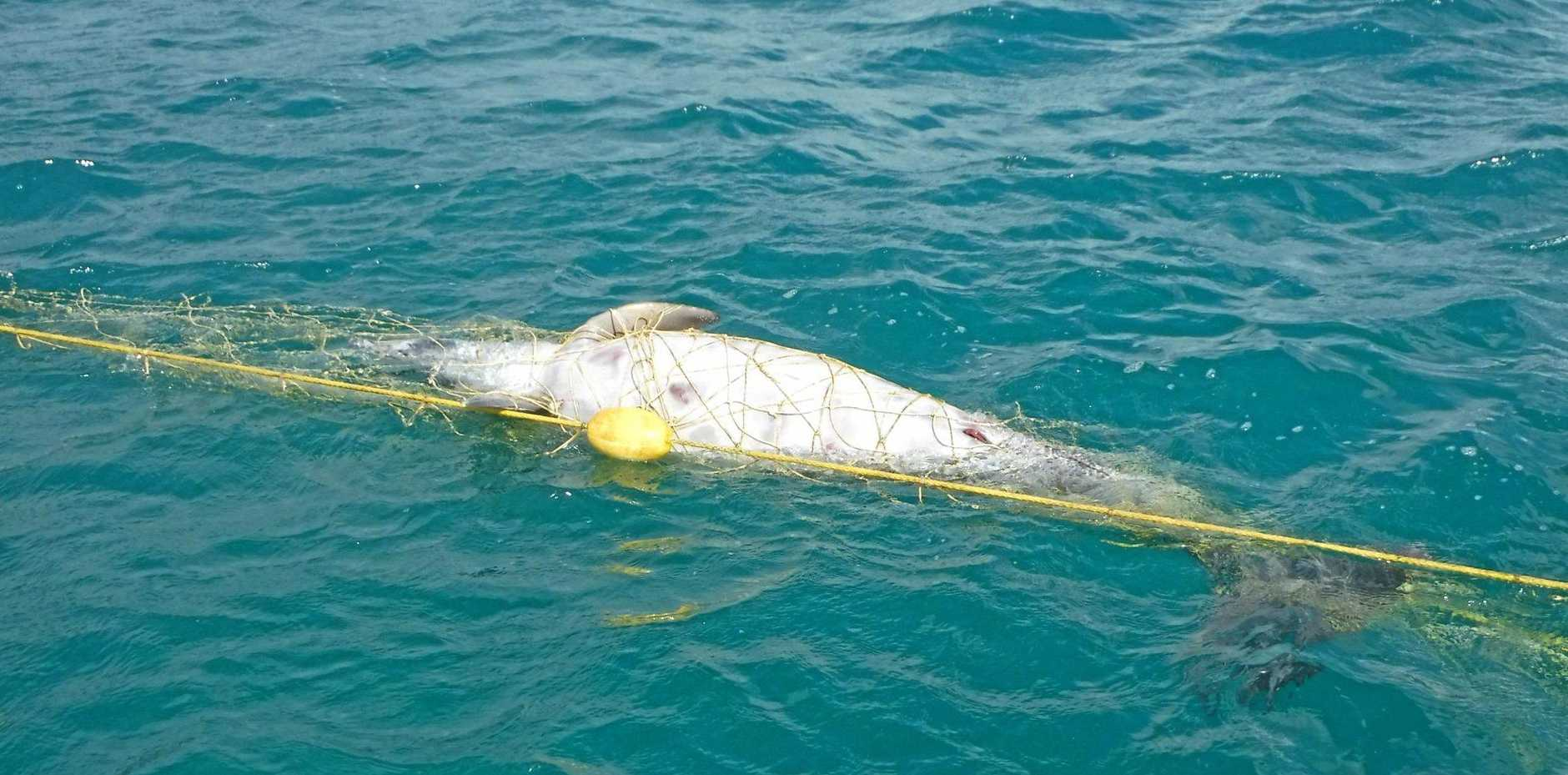 TANGLED UP: This sub-adult bottlenose dolphin was reportedly killed in shark nets off Noosa's Main Beach on Wednesday.