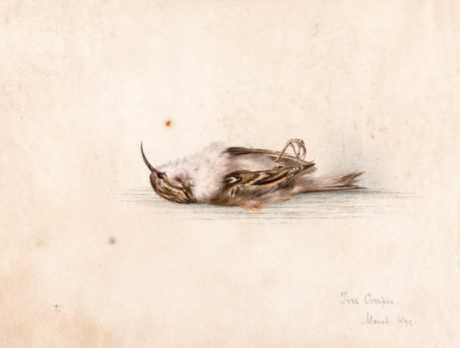 A 118-year-old depiction of a tree creeper painted by Dr Edward Wilson.