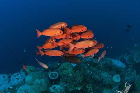 A school of pinjalo snappers patrol Joelle's Reef in Kimbe Bay, PNG.