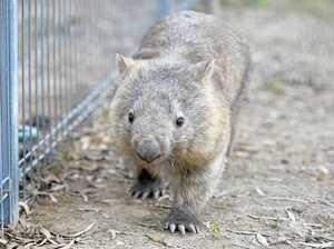 Rare wombats will be the stars at Mount Larcom