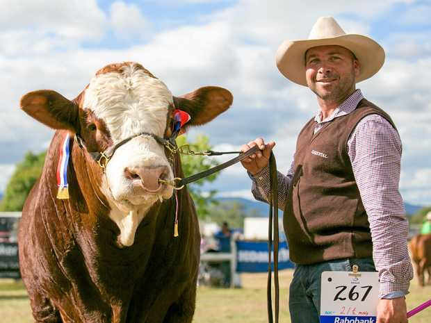 RISING STAR: Simmental bull KBV Legacy (P) picked up Senior Champion Male for owner Marty Rowlands of KBV Simmentals at the Simmental Feature Show in Toogoolawah.