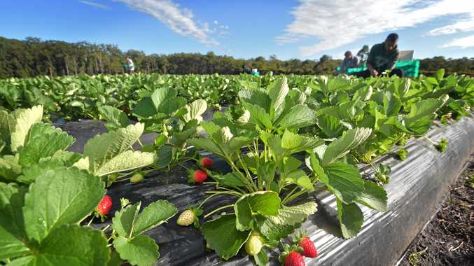 FOR SALE: A famous Coast strawberry farm has been placed on the market.