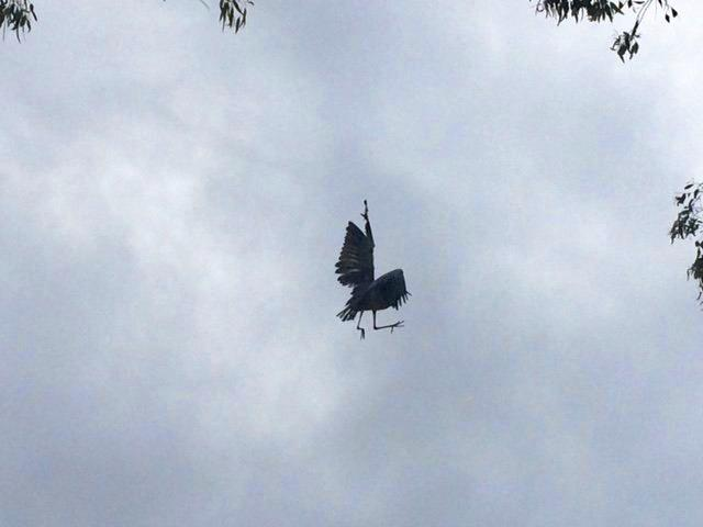 A heron is struggling in fishing line, suspended from a tree at Maroochydore.