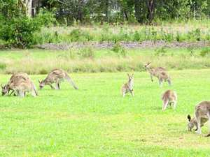 RARE SIGHT: Kangaroos used to populate the university's grounds. Now there are far fewer to be seen.