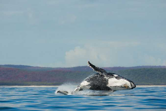 WHALE PLAYGROUND: After breeding at the Great Barrier Reef, thousands of humpback whales head to Hervey Bay to play, learn and mingle with curious humans. Photo: Contributed