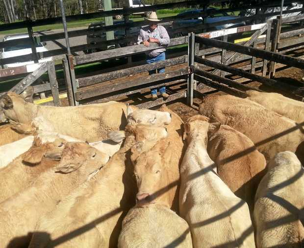 UP FOR SALE: Grant Gericke with heifers at an earlier Sullivan Livestock Sale.