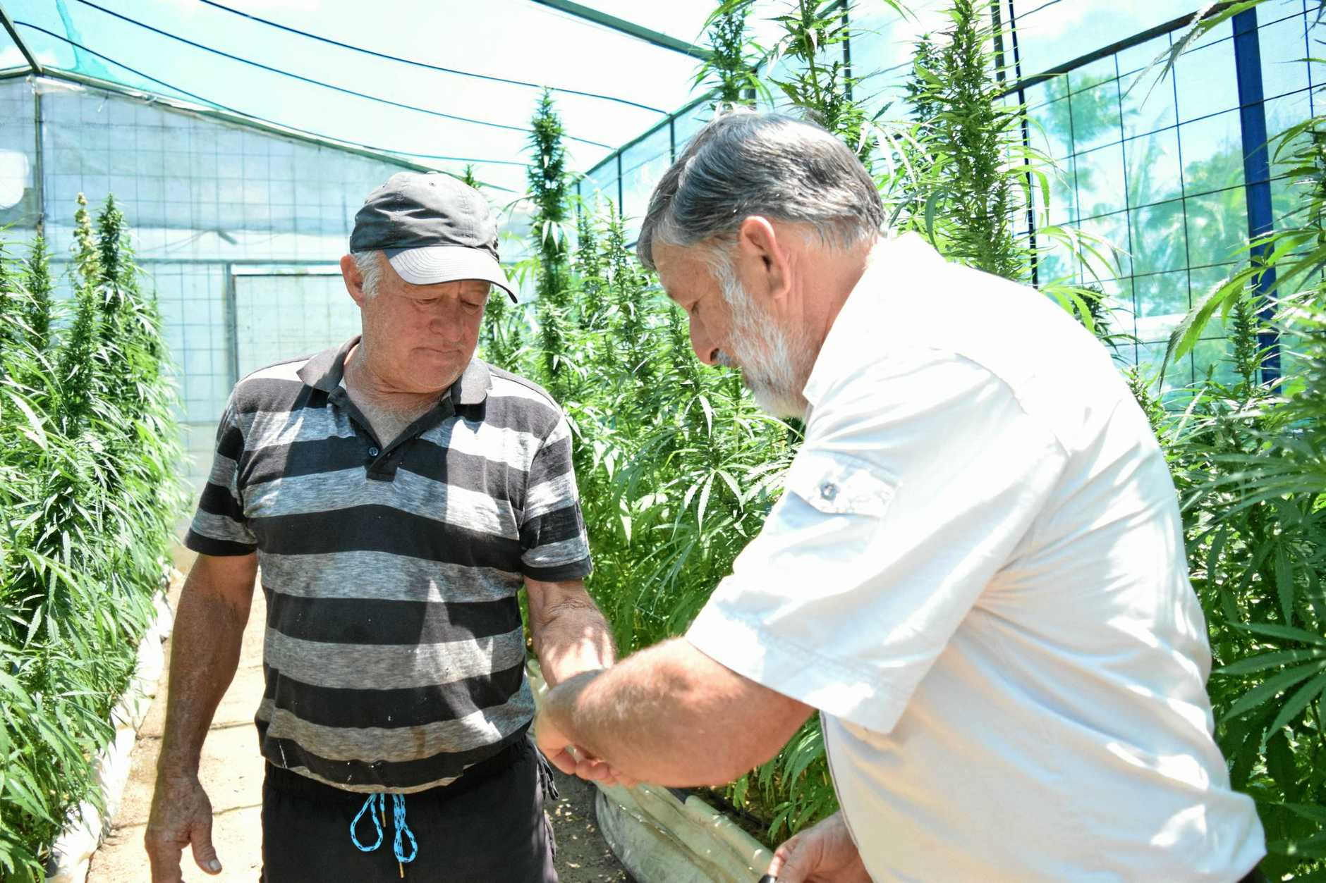 FIELDS OF GREEN: John and Jim Hall are hoping to be able to grow medicinal cannabis on their Bundaberg farm next year.