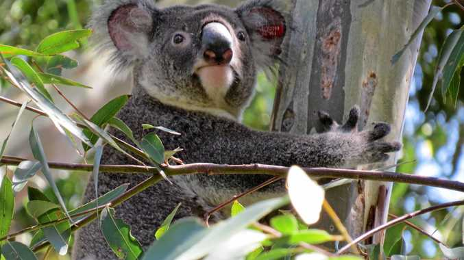 The Koala Party could shake up Australian politics.