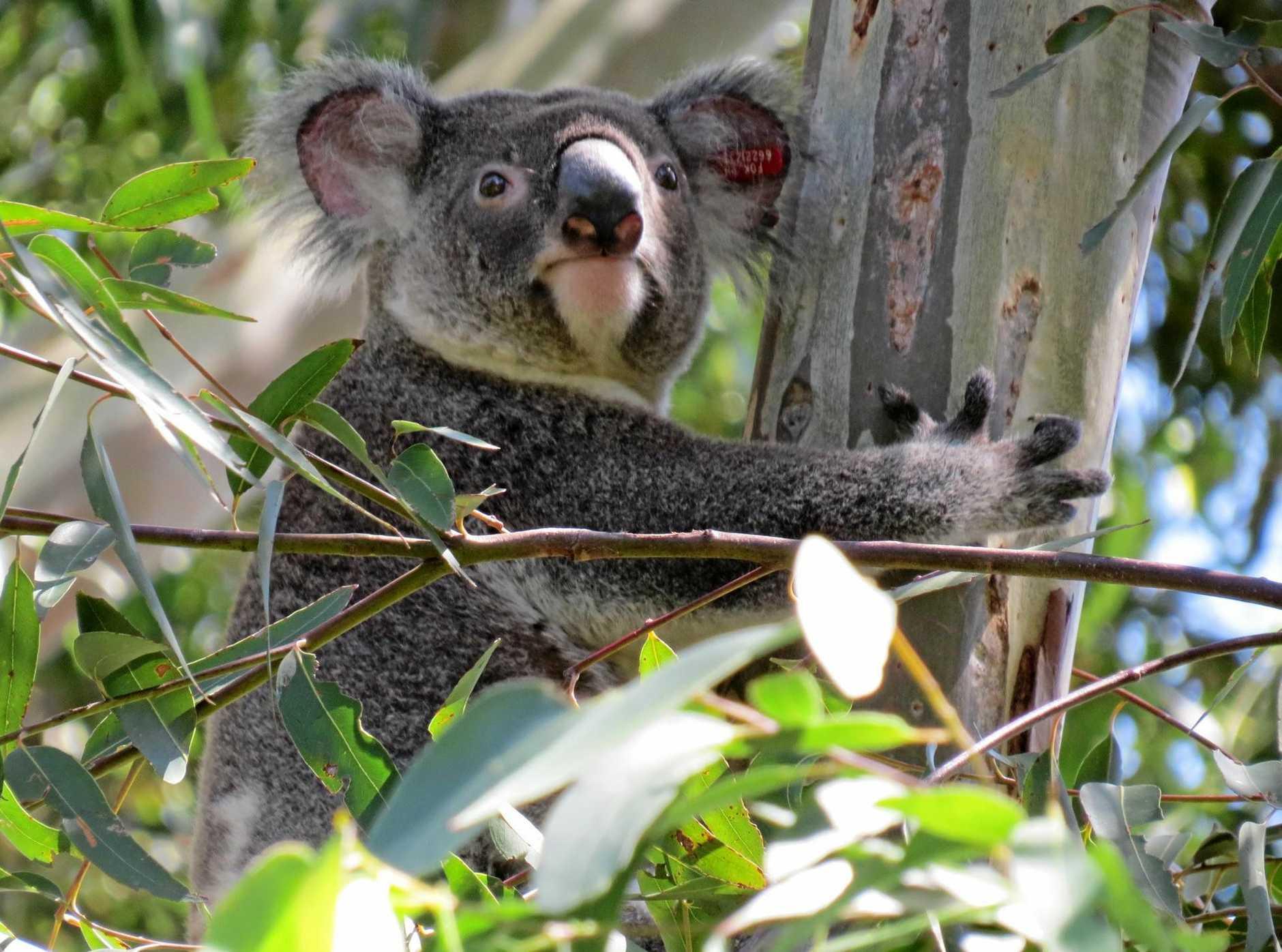 The Koala Party could shake up Australian politics.
